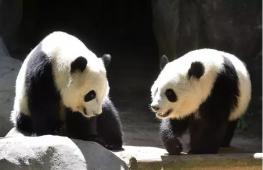 当两只海归熊猫回到中国,只听英语还不吃中餐...这就real尴尬了啊